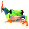 Red_eye_tree_frogs_3-2